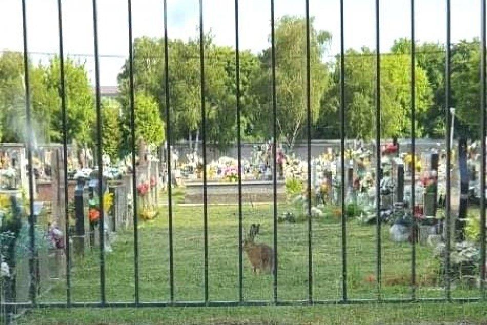 Ilustračný obrázok k článku KURIOZITA DŇA: Zajac porušil zákaz vstupu zvierat na cintorín, FOTO