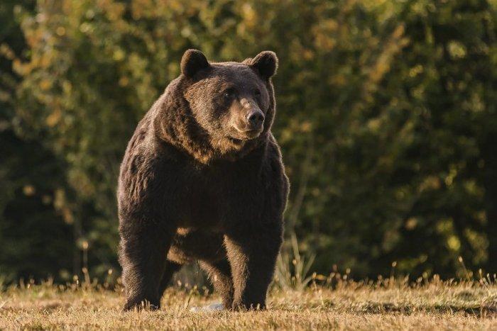 Ilustračný obrázok k článku Obec pri Nitre je v pozore: Túla sa tam medveď s mláďaťom