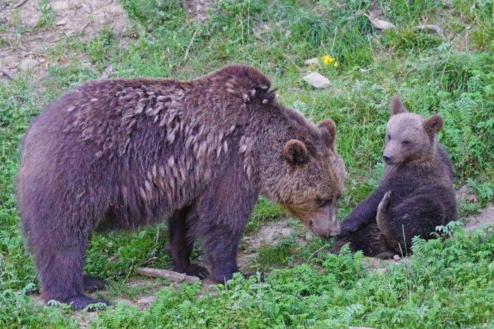 Ilustračný obrázok k článku Obec neďaleko Moraviec je na nohách: Videli tam medvedicu s mláďatami!