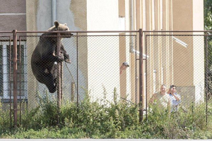 Ilustračný obrázok k článku Obce pri Kremnici v strachu z medveďov: Šelma si to namierila aj rovno do záhrady