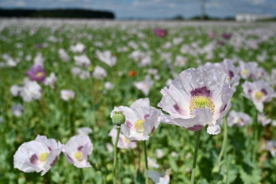 Ilustračný obrázok k článku Raj pre fotografov: Neďaleko Trnavy rozkvitlo makové pole, FOTO