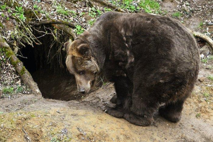 Ilustračný obrázok k článku SVET O SLOVENSKU: Vraždiaci medveď z Liptova šokoval aj Britov