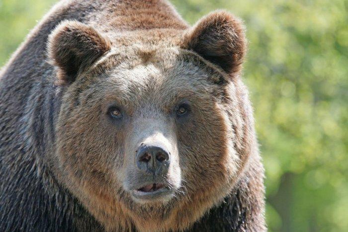 Ilustračný obrázok k článku Šelmy čoraz bližšie k ľuďom: Na medveďa upozorňuje ďalšia obec pri Žiari
