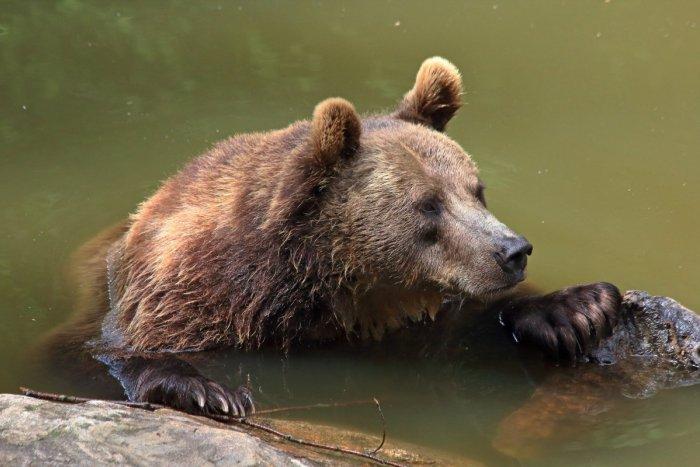 Ilustračný obrázok k článku Je toto NORMÁLNE? Ďalší medveď! Tentoraz si TRÚFOL na cyklistku priamo v meste
