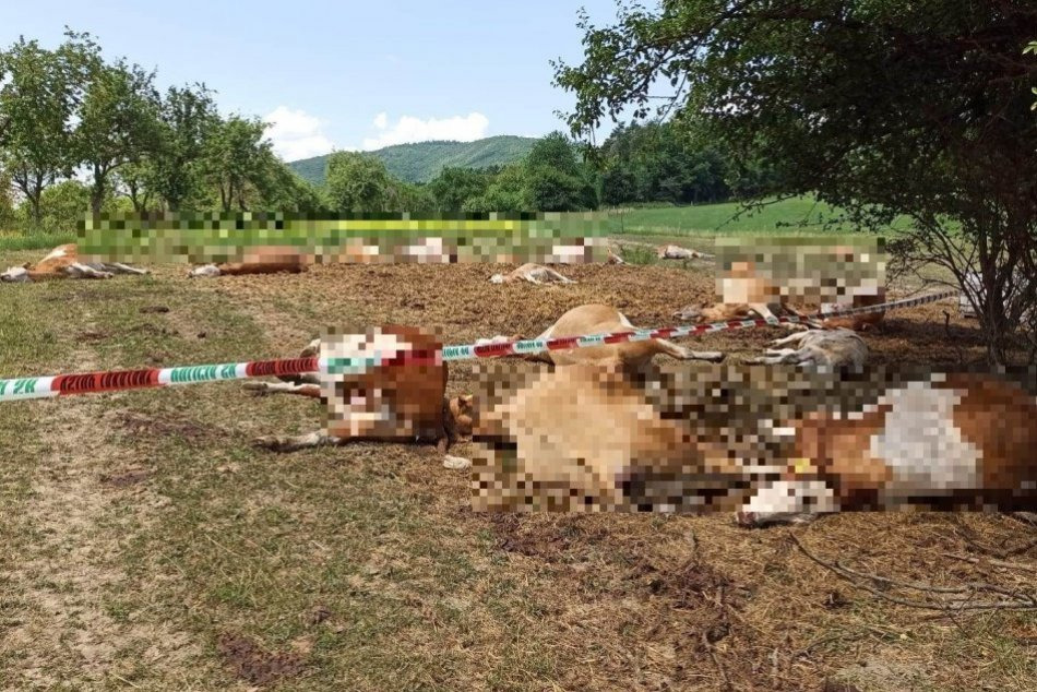 Ilustračný obrázok k článku Desivý pohľad na uhynuté KRAVY: Otrávili sa vodou z cisterny, v ktorej bola močovka, FOTO