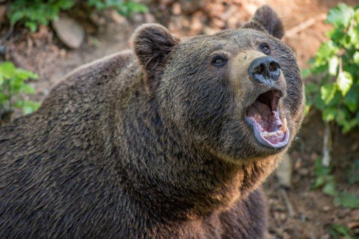 Ilustračný obrázok k článku SVET O SLOVENSKU: Ľudia v Tatrách sa boja o život. Medvede chodia od domu k domu