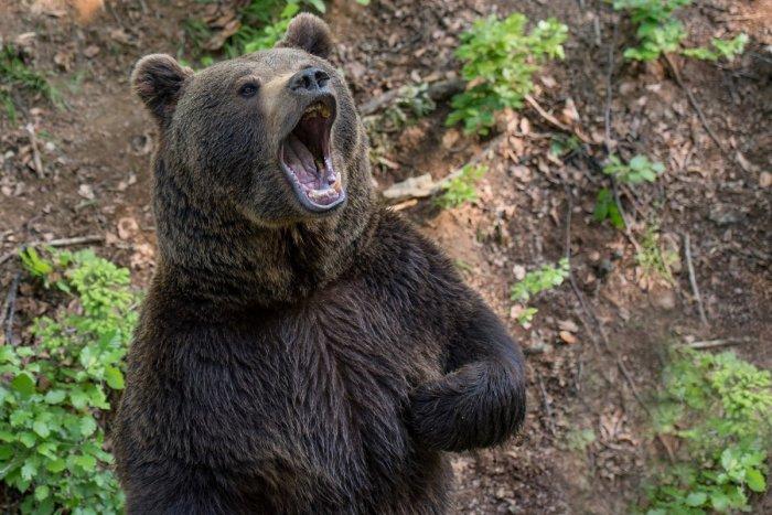 Ilustračný obrázok k článku V okolí Liptovskej Porúbky sa potuluje medveď: Vybral si tieto tri lokality