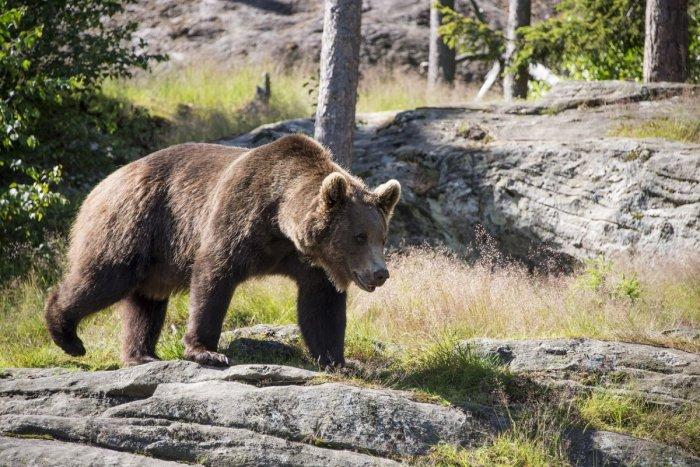 Ilustračný obrázok k článku Experiment zlyhal: Tatranskú medvedicu museli utratiť, mláďatá putujú do zoo