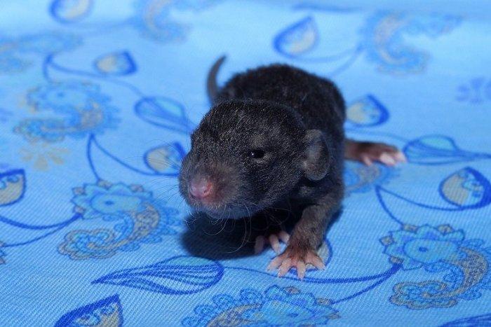 Ilustračný obrázok k článku HOROR v slovenskej nemocnici: Covid pacienta uhryzol potkan, vliezol mu rovno do postele!