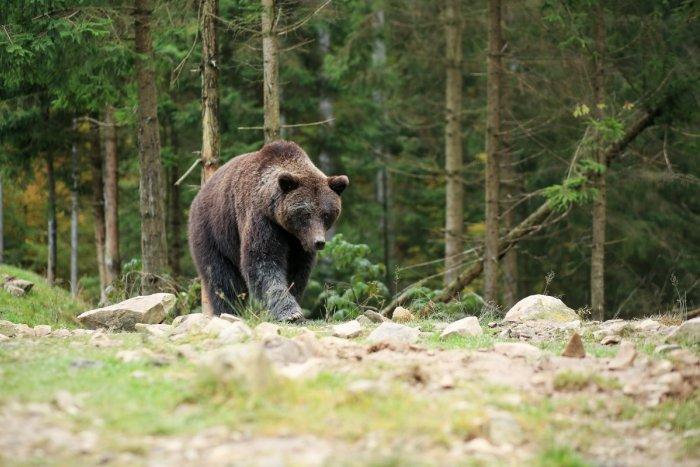 Ilustračný obrázok k článku Mrazivé okamihy na Podpoľaní: Muža pri prechádzke napadla medvedica