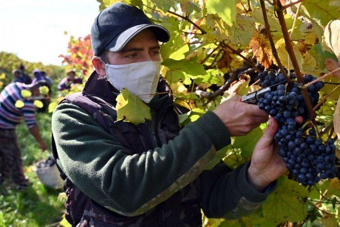 Ilustračný obrázok k článku Milovníci vína, môžete sa tešiť: Tento ročník bude EXCELENTNÝ, najlepší za dekádu!