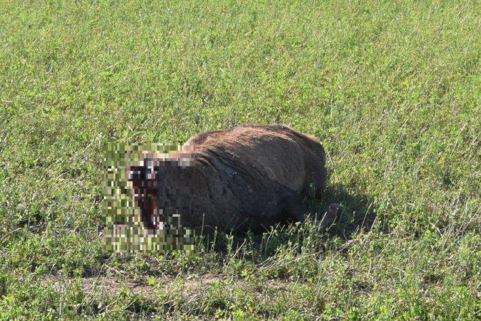 Ilustračný obrázok k článku Na juhu Banskobystrického kraja došlo k OHAVNOSTI: Jeleňom niekto odrezal hlavy